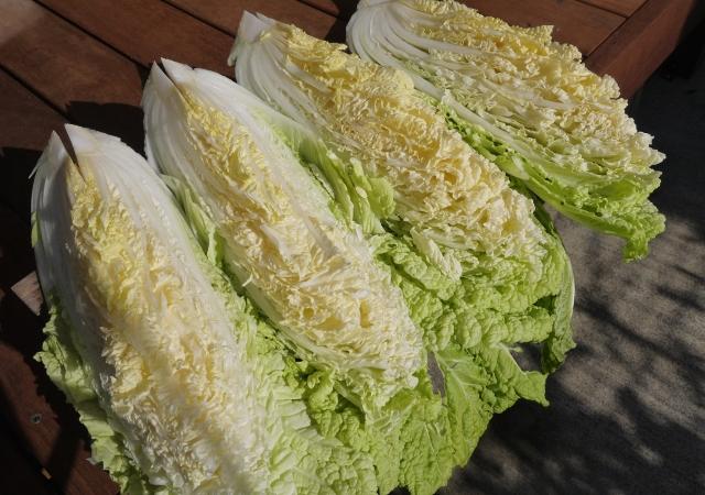 白菜が虫食いだらけ!これって食べられる?家庭菜園での対策も解説!